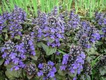 Κλείστε επάνω των μπλε ακίδων την άνοιξη garde λουλουδιών ajuga reptans Στοκ Εικόνες