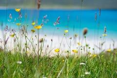 Κλείστε επάνω των λουλουδιών άνοιξη με την άσπρη αμμώδη παραλία, το τυρκουάζ νερό και ένα νησί στο υπόβαθρο, Luskentyre, νησί Har Στοκ φωτογραφία με δικαίωμα ελεύθερης χρήσης
