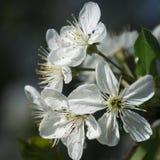 Κλείστε επάνω των λουλουδιών δαμάσκηνων Στοκ Εικόνες
