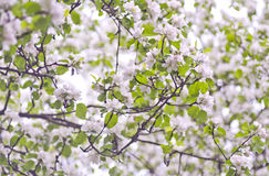Κλείστε επάνω των λουλουδιών ανθών το πρωί άνοιξη Όμορφο floral σχέδιο άνοιξη Στοκ εικόνα με δικαίωμα ελεύθερης χρήσης