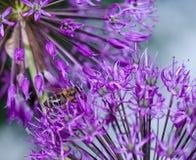 Κλείστε επάνω των λουλουδιών μερικών φρέσκων κρεμμυδιών Στοκ Φωτογραφία