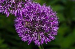 Κλείστε επάνω των λουλουδιών μερικών φρέσκων κρεμμυδιών Στοκ Εικόνες