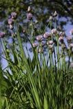 Κλείστε επάνω των λουλουδιών μερικών φρέσκων κρεμμυδιών Στοκ Φωτογραφίες