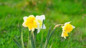 Κλείστε επάνω των λουλουδιών ναρκίσσων φιλμ μικρού μήκους
