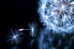 Κλείστε επάνω των λουλουδιών πικραλίδων Στοκ φωτογραφία με δικαίωμα ελεύθερης χρήσης
