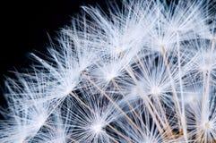 Κλείστε επάνω των λουλουδιών πικραλίδων Στοκ φωτογραφίες με δικαίωμα ελεύθερης χρήσης