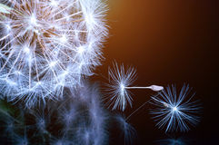 Κλείστε επάνω των λουλουδιών πικραλίδων Στοκ Φωτογραφίες