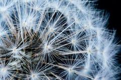 Κλείστε επάνω των λουλουδιών πικραλίδων Στοκ Εικόνα