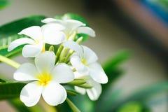 Κλείστε επάνω των λουλουδιών frangipani plumeria με τα φύλλα, Στοκ φωτογραφία με δικαίωμα ελεύθερης χρήσης