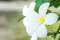 Κλείστε επάνω των λουλουδιών frangipani plumeria με τα φύλλα, Στοκ Εικόνες