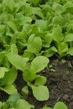 Κλείστε επάνω των πράσινων λαχανικών στον τομέα Στοκ εικόνες με δικαίωμα ελεύθερης χρήσης