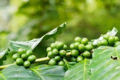 Κλείστε επάνω των πράσινων arabica μούρων καφέ Στοκ εικόνα με δικαίωμα ελεύθερης χρήσης