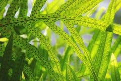 Κλείστε επάνω των φύλλων φτερών πρασινάδων με την εκλεκτική εστίαση σπορίων Στοκ Εικόνες