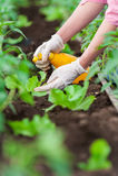 Κλείστε επάνω των χεριών του εργαζομένου γυναικών κήπων Στοκ φωτογραφία με δικαίωμα ελεύθερης χρήσης