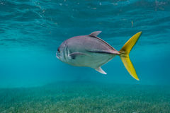 Κλείστε επάνω των ψαριών γρύλων ματιών αλόγων, latus Caranx, στοκ φωτογραφίες