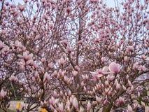 Κλείστε επάνω των όμορφων άσπρων λουλουδιών magnolia την πλήρη άνθιση στο θόριο Στοκ Εικόνες