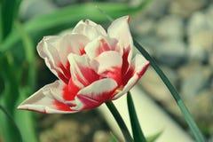 Κλείστε επάνω των όμορφων ανθίζοντας κόκκινων και άσπρων τουλιπών στον κήπο στην άνοιξη ζωηρόχρωμη άνοιξη ανασκόπησης ημέρα ηλιόλ Στοκ Εικόνα
