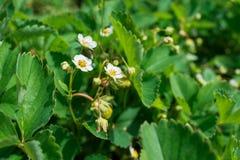 Κλείστε επάνω των όμορφων λουλουδιών φραουλών Στοκ εικόνες με δικαίωμα ελεύθερης χρήσης