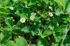 Κλείστε επάνω των όμορφων λουλουδιών φραουλών Στοκ φωτογραφία με δικαίωμα ελεύθερης χρήσης