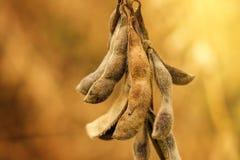Κλείστε επάνω των ώριμων λοβών συγκομιδών σόγιας στον καλλιεργημένο τομέα Στοκ Εικόνες