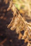Κλείστε επάνω των ώριμων λοβών συγκομιδών σόγιας στον καλλιεργημένο τομέα Στοκ Φωτογραφία