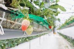 Κλείστε επάνω - φράουλα στη φύτευση φραουλών στοκ εικόνες με δικαίωμα ελεύθερης χρήσης