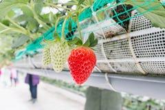 Κλείστε επάνω - φράουλα στη φύτευση φραουλών Στοκ φωτογραφία με δικαίωμα ελεύθερης χρήσης