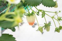 Κλείστε επάνω - φράουλα στη φύτευση φραουλών Στοκ Φωτογραφία
