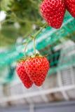 Κλείστε επάνω - φράουλα στη φύτευση φραουλών στοκ εικόνες