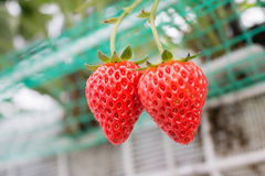 Κλείστε επάνω - φράουλα στη φύτευση φραουλών στοκ εικόνα με δικαίωμα ελεύθερης χρήσης