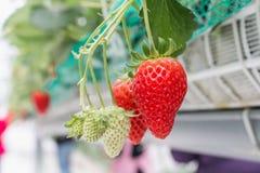 Κλείστε επάνω - φράουλα στη φύτευση φραουλών Στοκ φωτογραφίες με δικαίωμα ελεύθερης χρήσης