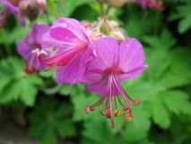 Κλείστε επάνω δύο πορφυρών λουλουδιών Στοκ Φωτογραφία