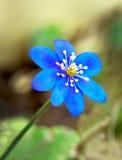 Anemone Hepatica Στοκ εικόνες με δικαίωμα ελεύθερης χρήσης