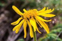 Κλείστε επάνω Arnica του λουλουδιού της Μοντάνα Στοκ εικόνες με δικαίωμα ελεύθερης χρήσης