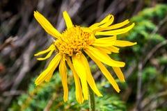 Κλείστε επάνω Arnica του λουλουδιού της Μοντάνα Στοκ Εικόνες