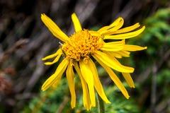 Κλείστε επάνω Arnica του λουλουδιού της Μοντάνα Στοκ Φωτογραφία