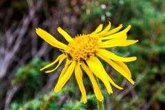 Κλείστε επάνω Arnica του λουλουδιού της Μοντάνα Στοκ Εικόνα