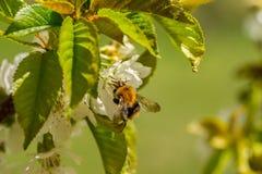 Κλείστε επάνω bumble-bee στο λουλούδι στοκ φωτογραφία