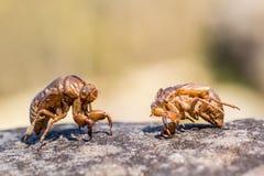 Κλείστε επάνω cicada slough στην πέτρα Στοκ εικόνα με δικαίωμα ελεύθερης χρήσης