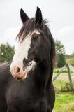 κλείστε επάνω clydesdale το άλογο Στοκ Φωτογραφία