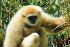 Κλείστε επάνω gibbon Στοκ εικόνα με δικαίωμα ελεύθερης χρήσης