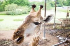 Κλείστε επάνω giraffe το πρόσωπο Στοκ Φωτογραφίες