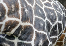Κλείστε επάνω Giraffe των σημείων στοκ φωτογραφίες