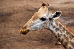 Κλείστε επάνω giraffe Στοκ Εικόνα
