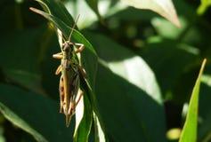 Κλείστε επάνω grasshopper στον κλάδο Στοκ Φωτογραφία