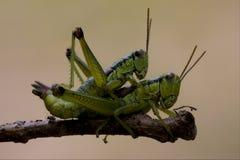 Κλείστε επάνω grasshopper δύο ορθόπτερο Στοκ φωτογραφία με δικαίωμα ελεύθερης χρήσης