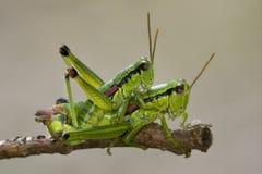 κλείστε επάνω grasshopper δύο Στοκ Εικόνα