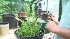 Κλείστε επάνω Lavender περικοπής ατόμων των εγκαταστάσεων στο θερμοκήπιο φιλμ μικρού μήκους