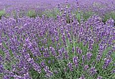Κλείστε επάνω Lavender των τομέων Στοκ Εικόνες