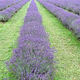 Κλείστε επάνω Lavender των τομέων Στοκ φωτογραφία με δικαίωμα ελεύθερης χρήσης